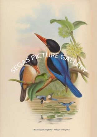 Black-capped Kingfisher - Halcyon atricapillus